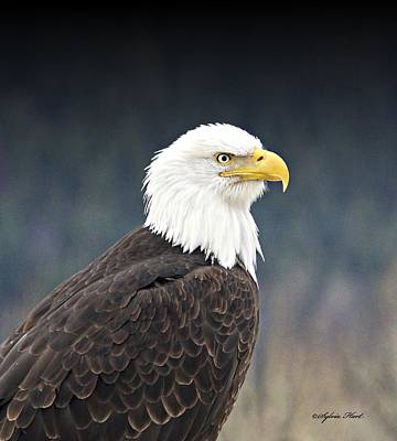 Photograph - Bald Eagle by Sylvia Hart