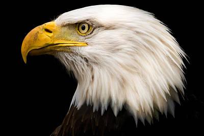 Bald Eagle Art Print by Tracy Munson