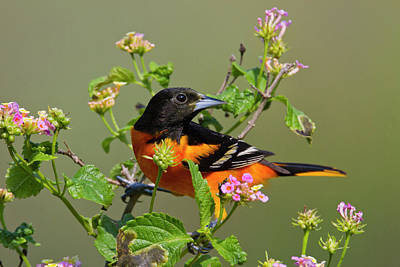Baltimore Orioles Photograph - Baltimore Oriole (icterus Galbula by Larry Ditto