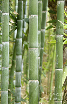 Bamboo Phyllostachys Sp Print by Johnny Greig