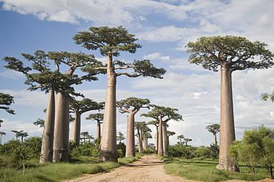Baobab Photograph - Baobab Trees Adansonia Digitata by Panoramic Images