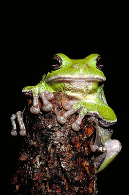 Photograph - Barking Tree Frog by Jeffrey Lepore