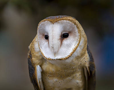 Photograph - Barn Owl by Jack R Perry