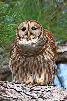 Photograph - Barred Owl by Ira Runyan
