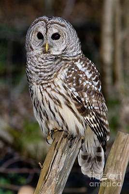 Art Print featuring the photograph Barred Owl by Les Palenik