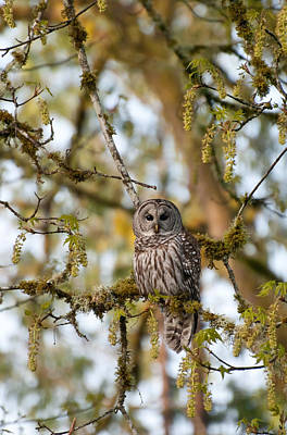 Photograph - Barred Owl Of The Pacific Northwest by Jani Freimann