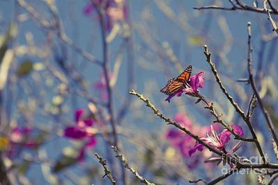 Photograph - Bauhinia Purpurea - Hawaiian Orchid Tree by Sharon Mau