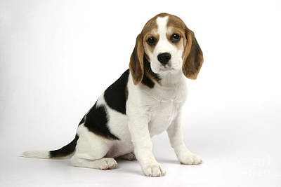 Beagle Puppy Dog Art Print