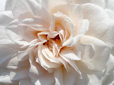 Photograph - Beautiful Rose Close-up by Denise Mazzocco