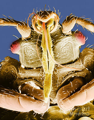 Photograph - Bedbug Mouthparts Sem by David M Phillips