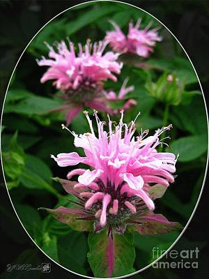 Vivid Colour Painting - Bee Balm Named Panorama Pink by J McCombie