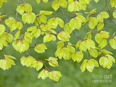 Beech Tree Leaves Fagus Sylvatica Art Print by Adrian Bicker