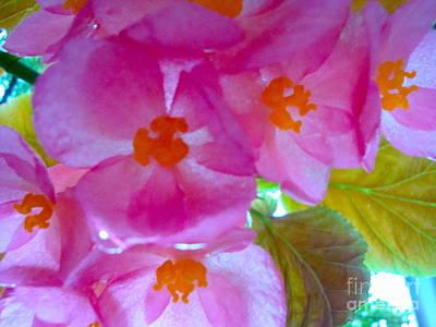 Begonia Debut Art Print by Cathy Dee Janes