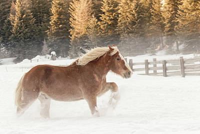Draft Horses Photograph - Belgian Horse Roundup In Winter by Adam Jones