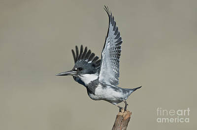 Belted Kingfisher Wall Art - Photograph - Belted Kingfisher by Anthony Mercieca
