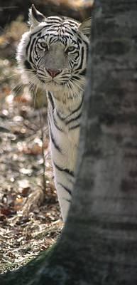 Photograph - Bengal Tiger by Byron Jorjorian