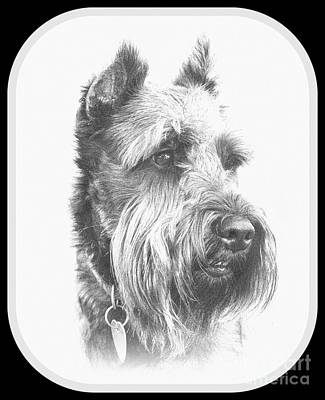 Photograph - Benny The Miniature Schnauzer by Mickey Harkins