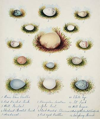 Bird Eggs From India Art Print