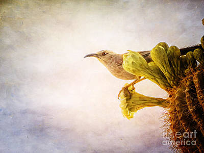 Photograph - Curved-billed Thrasher by Marianne Jensen