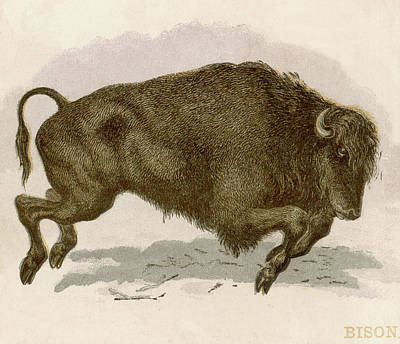 Bison Drawing - Bison Bison American Bison Or Buffalo by Mary Evans Picture Library