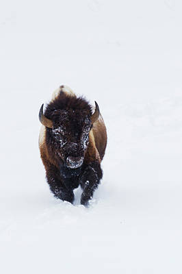 Bison Bull Art Print by Ken Archer
