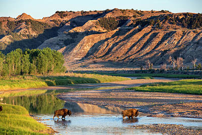Theodore Photograph - Bison Crossing The Little Missouri by Chuck Haney