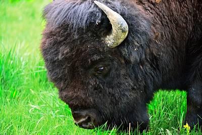 Photograph - Bison by Walt Sterneman