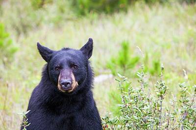 Hibernation Photograph - Black Bear by Ashley Cooper