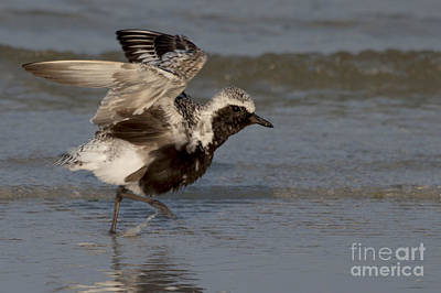 Photograph - Black Bellied Plover by Meg Rousher