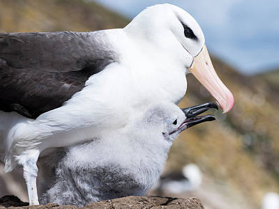 Albatross Photograph - Black-browed Albatross (thalassarche by Martin Zwick