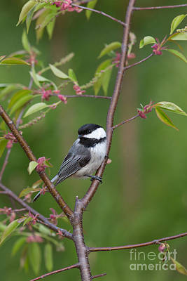 Chickadee Family Photograph - Black-capped Chickadee Poecile by Linda Freshwaters Arndt