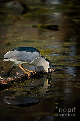 Photograph - Black Crowned Night Heron by Michael Cummings