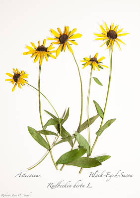 Black-eyed-susan Art Print