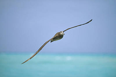 Black-footed Albatross Flying Midway Art Print by Tui De Roy