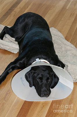 Pet Care Photograph - Black Labrador With Elizabethan Collar by William H. Mullins