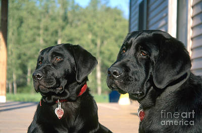 Id Tags Photograph - Black Labradors by Linda Freshwaters Arndt
