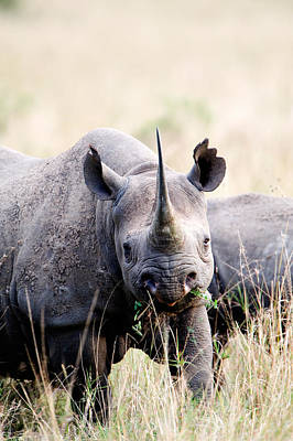 Focus On Foreground Photograph - Black Rhinoceros Diceros Bicornis by Panoramic Images