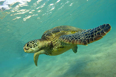 Honu Photograph - Black Rock Turtle by James Roemmling