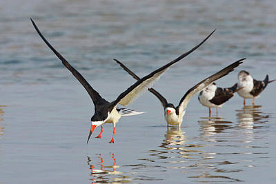 Black Skimmers (rynchops Niger Art Print by Larry Ditto