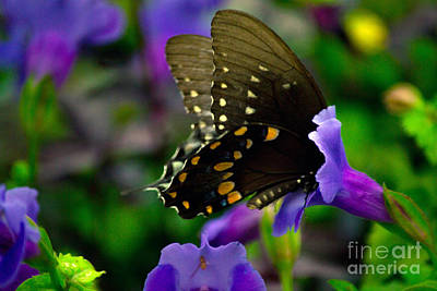 Photograph - Black Swallowtail by Angela DeFrias