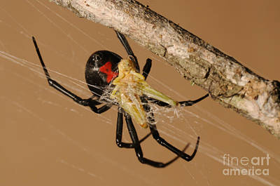 Black Widow Spider Photograph - Black Widow Spider by Scott Linstead