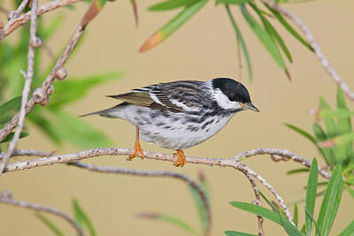 Warbler Photograph - Blackpol Warbler (dendroica Striata by Larry Ditto