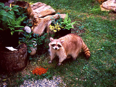 Photograph - Blondie Racoon by Robert  Rodvik