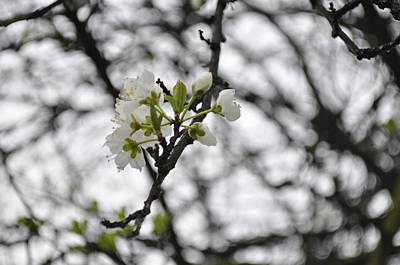 Photograph - Blossoms by Kristen R Kennedy