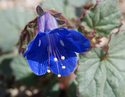 Photograph - Blue Bell by Sandra Selle Rodriguez
