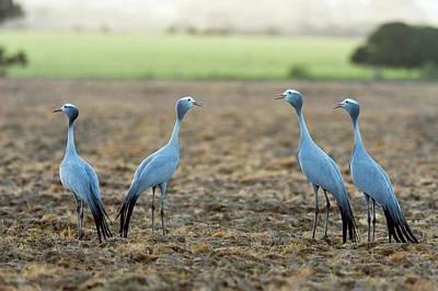 Blue Cranes Art Print