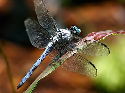 Art Print featuring the photograph Blue Dragonfly by Kelly Nowak