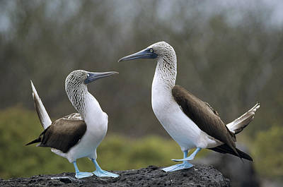 Blue-footed Boobies Courting Galapagos Art Print