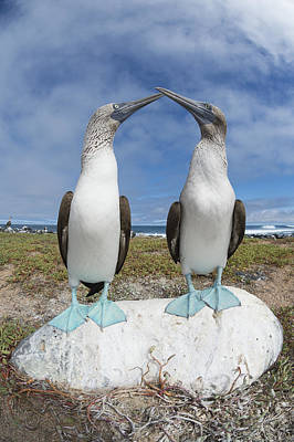 Billing Photograph - Blue-footed Booby Pair Courting by Tui De Roy