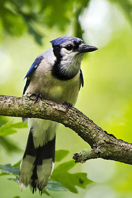 Photograph - Bluejay by Christina Rollo